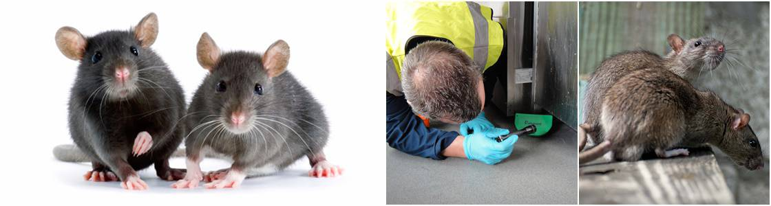 mice control & removal warrington