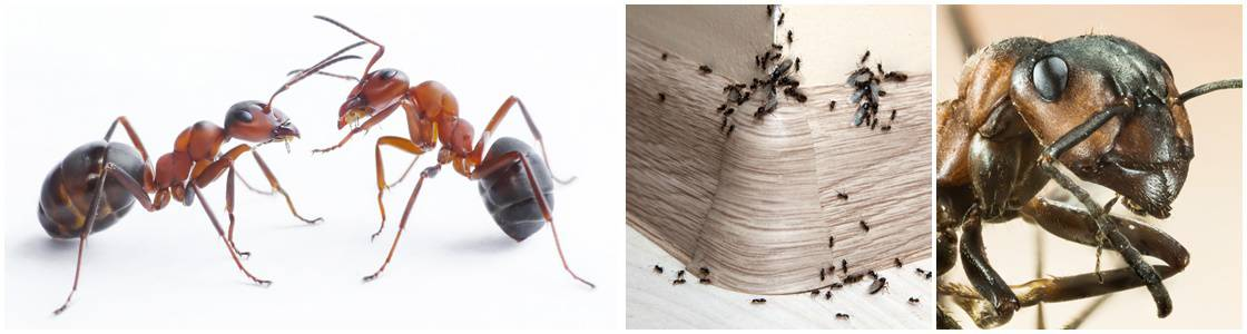 Ant infestation Control - Warrington