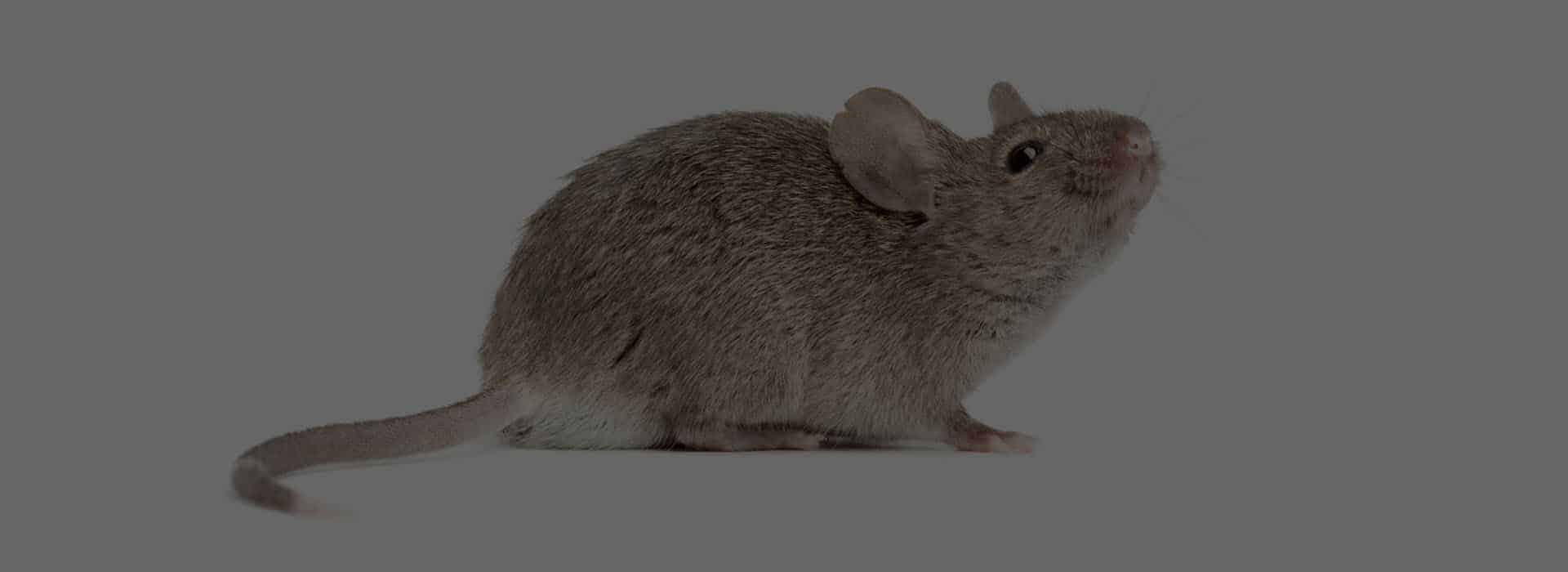 Mice-Mouse-Pest-Control-St-Helens