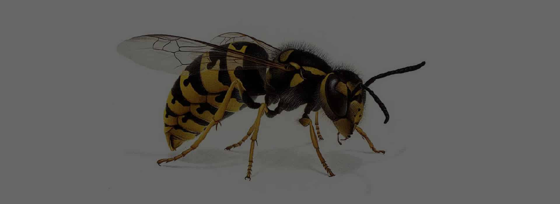 Pest-Control-Lowton-Wasp-Nest-Removal