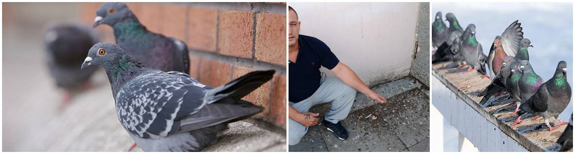 Pigeon Infestation Control - Warrington