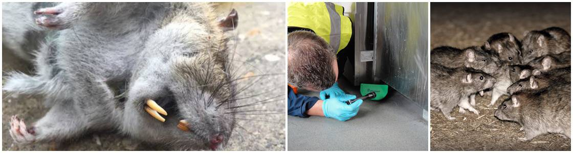 Rat control & removal warrington