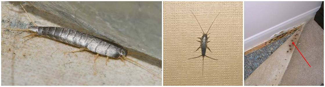 Silverfish Infestation Control - Warrington