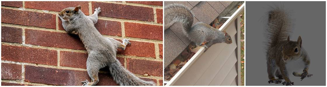 Squirrel Pest Control - Warrington, Cheshire, Greater Manchester